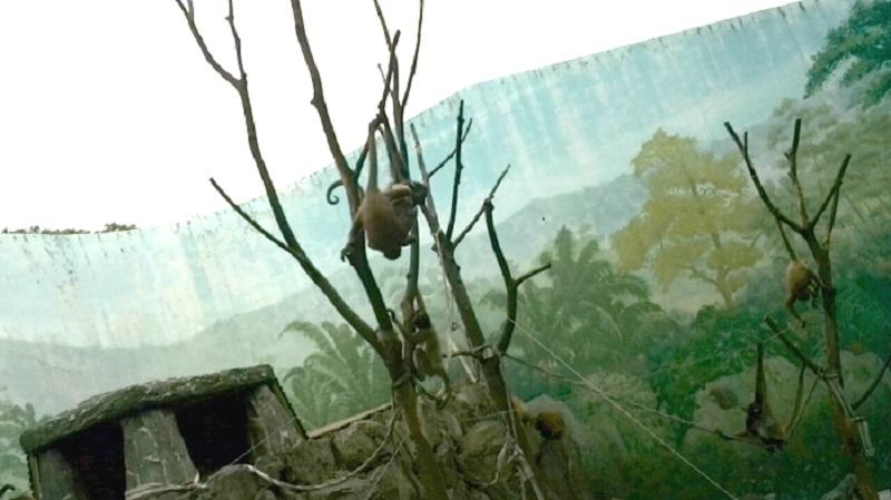 ケナガクモザル